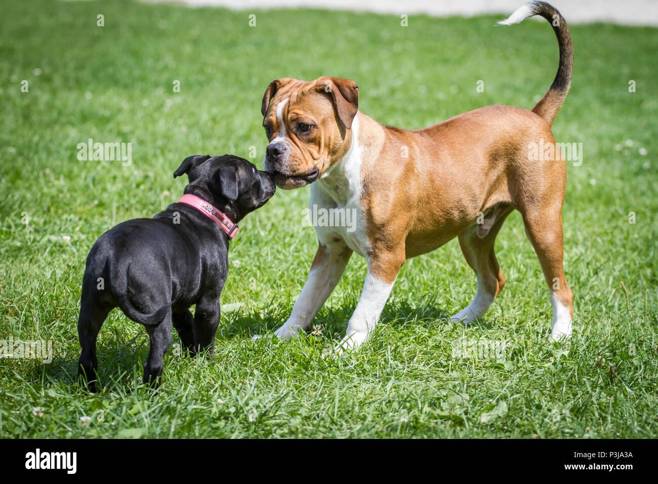 Ongebruikt Leavitt Bulldog puppy and Staffordshire Bull Terrier puppy playing SC-82