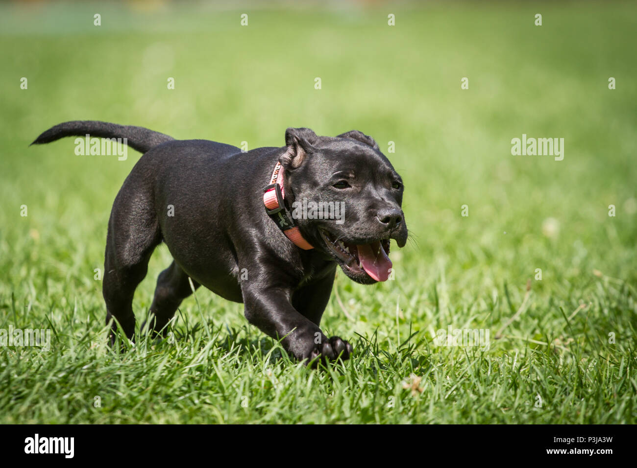 Black Staffordshire Bull Terrier puppy running on a meadow - Stock Image