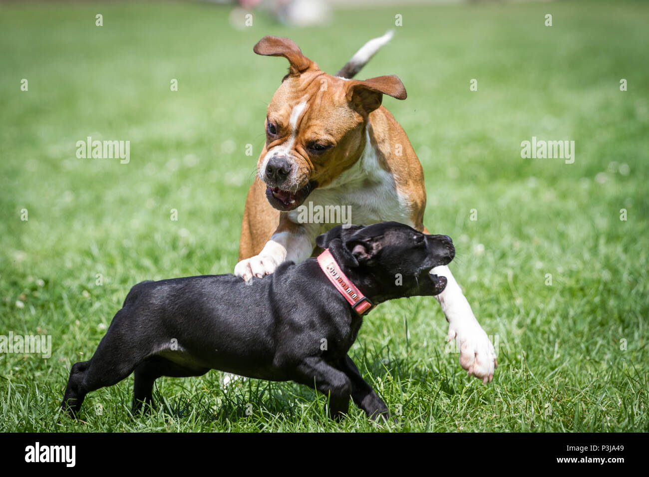 Leavitt Bulldog puppy and Staffordshire Bull Terrier puppy playing together - Stock Image