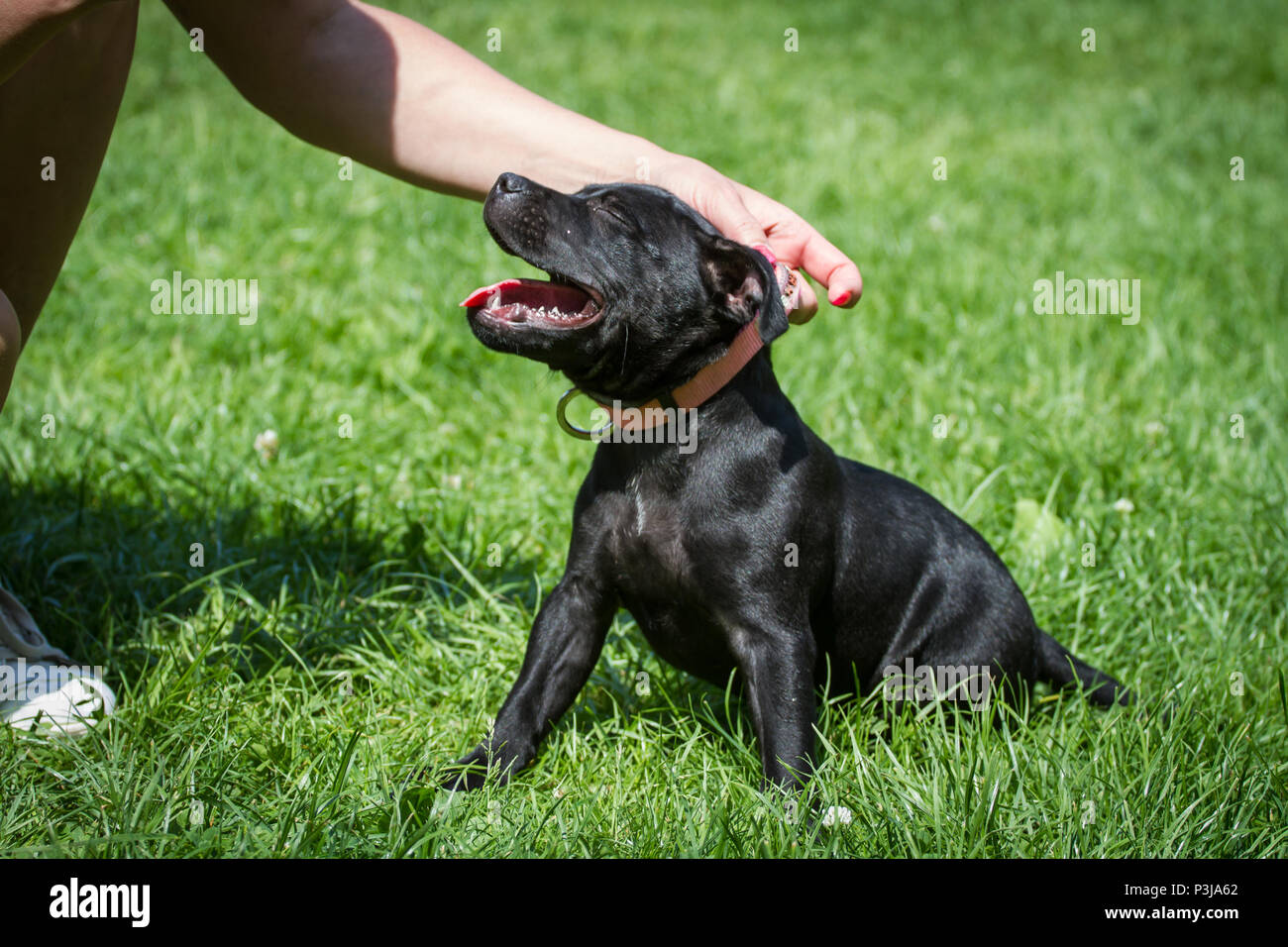 Black Staffordshire Bull Terrier puppy sitting on a meadow - Stock Image