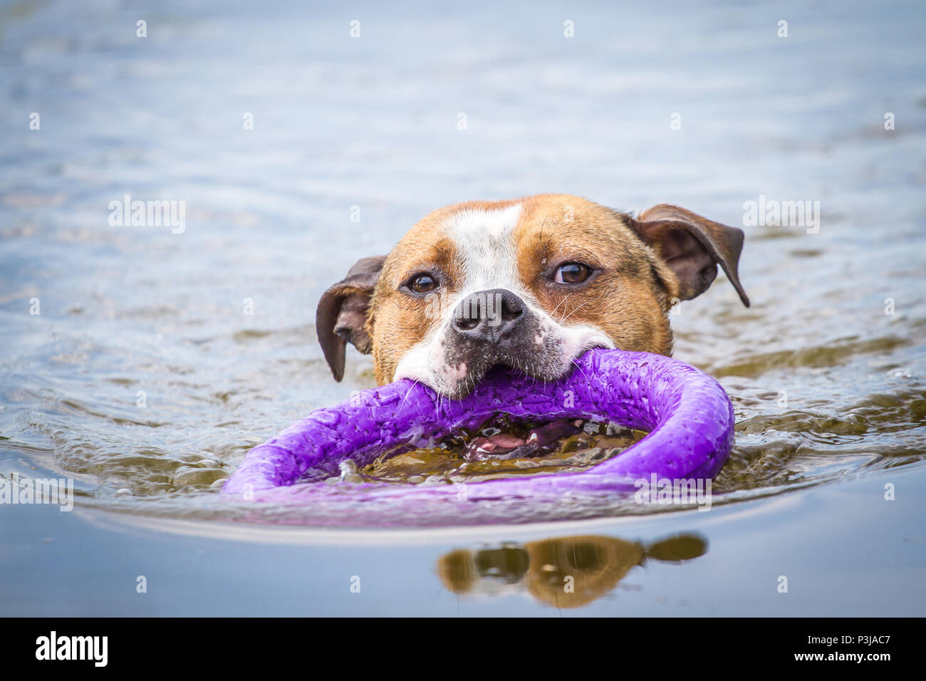 Dog swimming in a pond on a hot summer day Stock Photo
