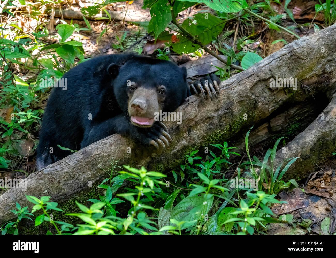 A Sun Bear (Helarctos malayanus) resting on a log in the rainforest at the Bornean Sun Bear Conservation Centre at Sepilok, Sandakan, Borneo, Malaysia - Stock Image