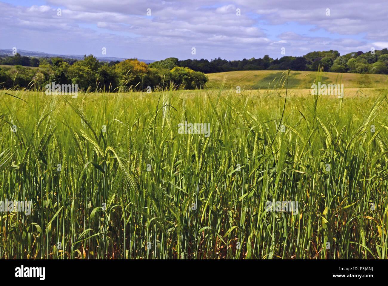 Brush Hill, Princes Risborough, Bucks, Chilterns
