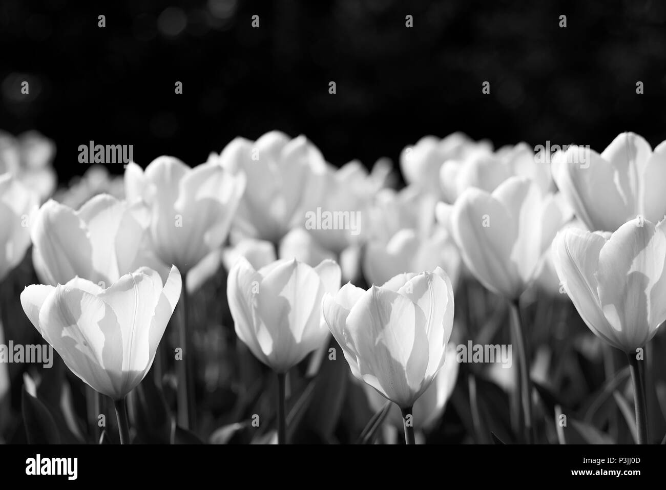 Beautiful low angle black and white view of tulips in bloom on large fields in and around the Keukenhof in the Netherlands a known tourist landmark - Stock Image