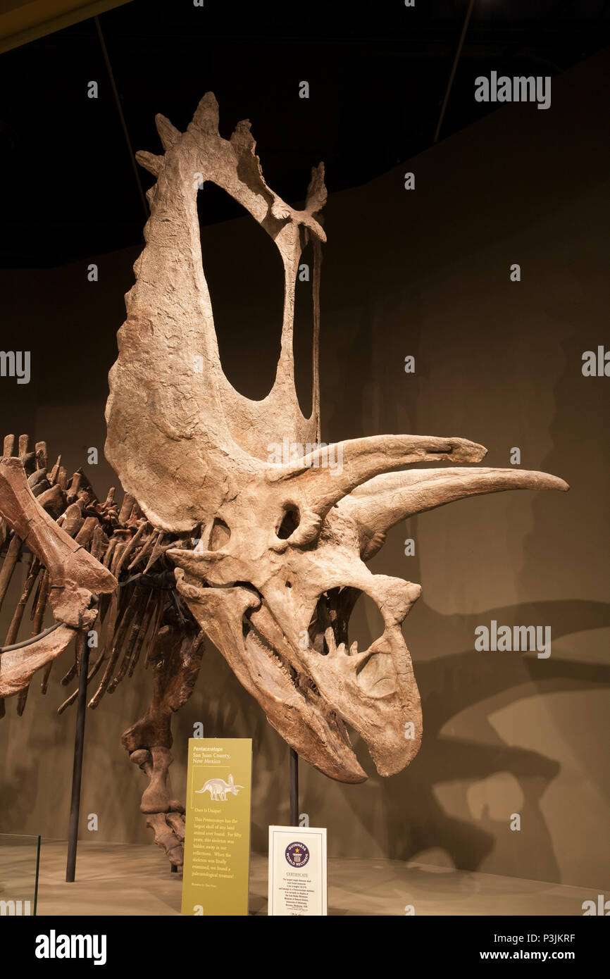 Pentaceratops skull is 10.5 feet tall and is the largest land animal skull ever found, Sam Noble Oklahoma Museum of Natural History, Norman, OK. - Stock Image