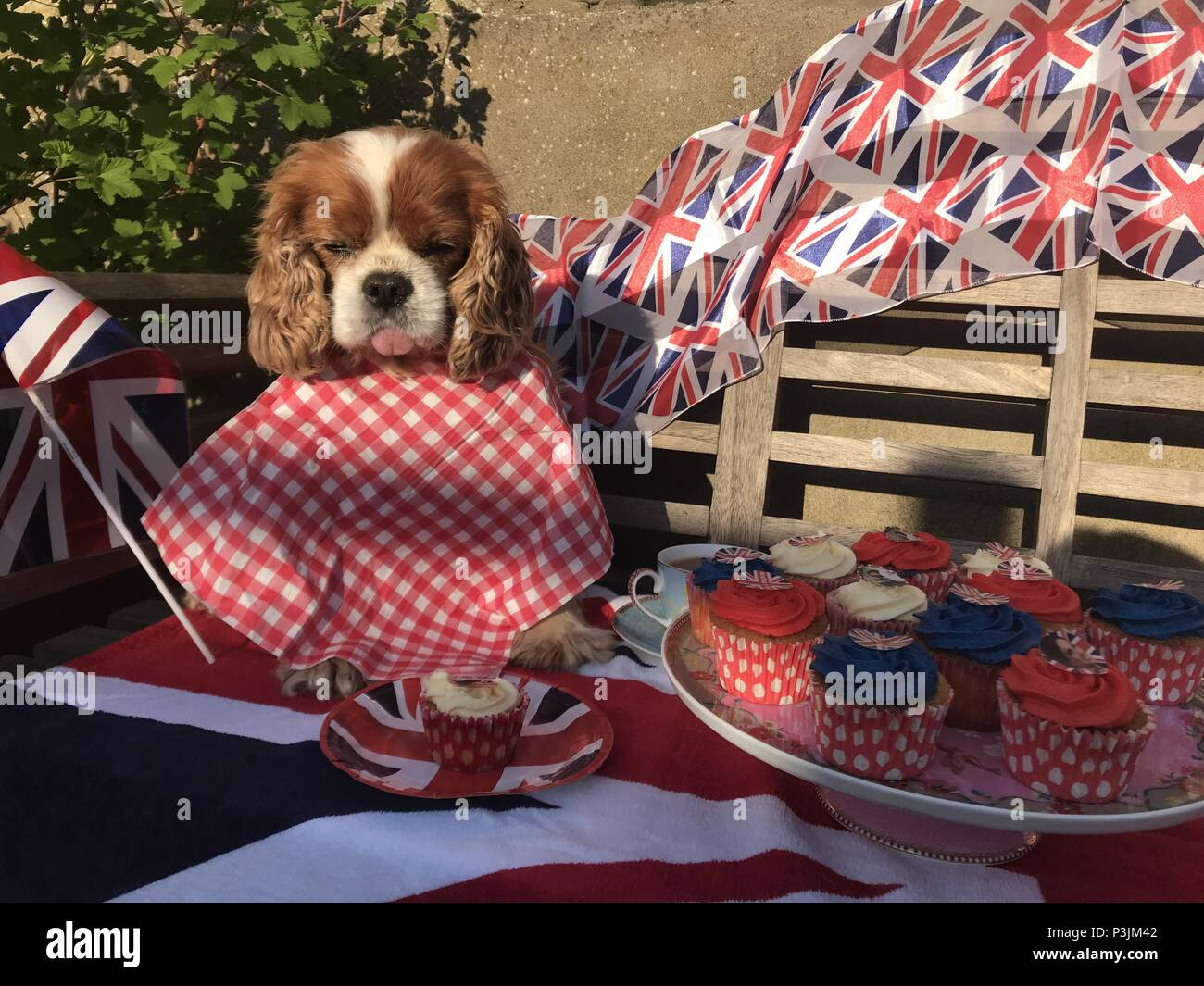 As people up and down the UK prepare for Royal Wedding street parties, it's not just humans who will be celebrating. These two dogs are already enjoying the festivities with a cheeky royal cupcake or two...  Featuring: atmosphere Where: United Kingdom When: 18 May 2018 Credit: WENN.com - Stock Image