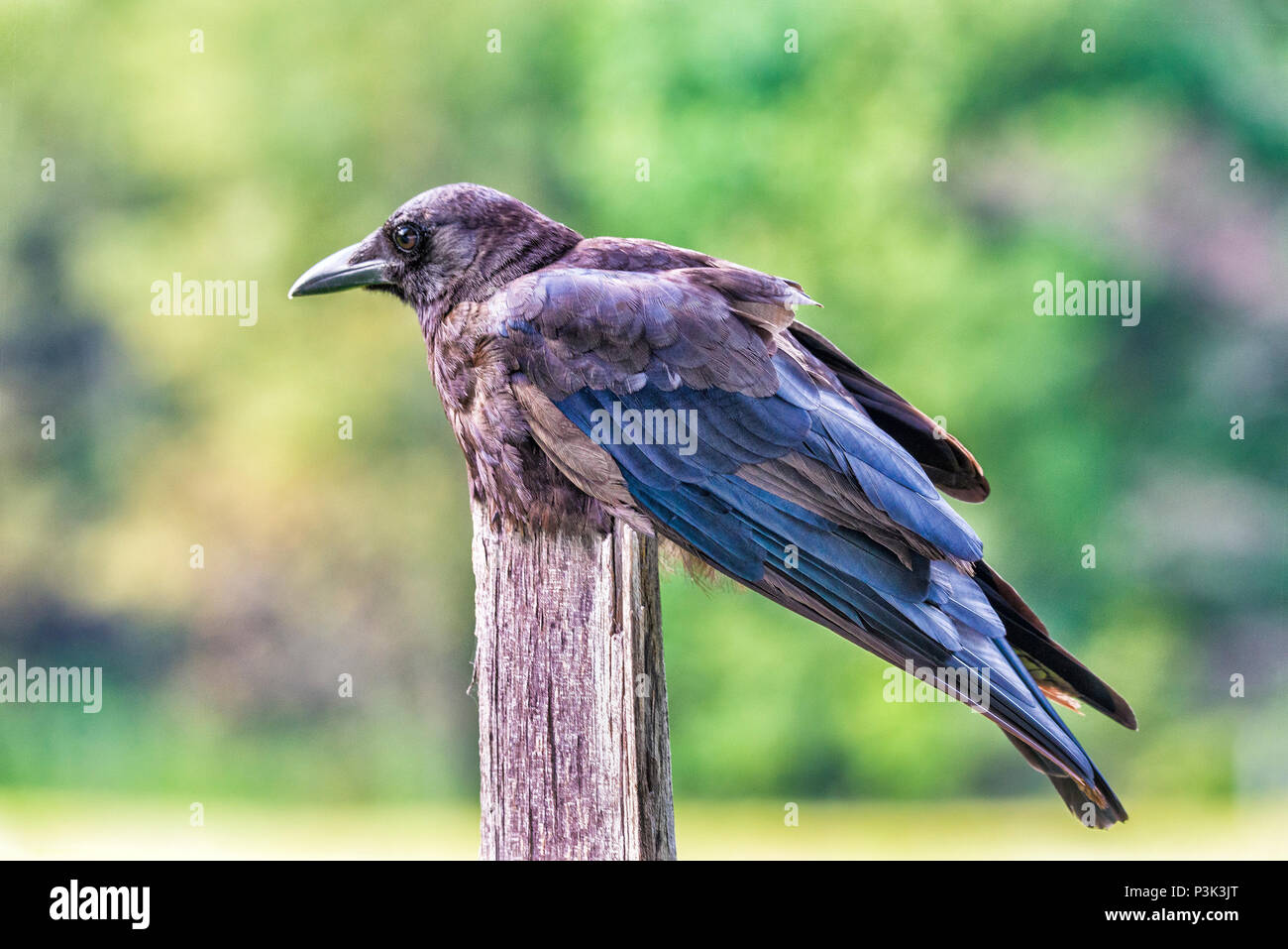 Horizontal close-up shot of a rumpled raven on a fence post with an out of focus background. - Stock Image