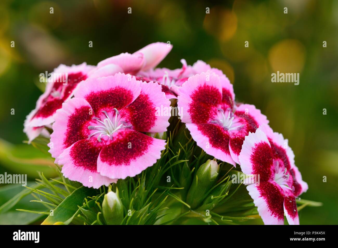 Close up of pink and white sweet william flowers in bloom stock close up of pink and white sweet william flowers in bloom mightylinksfo