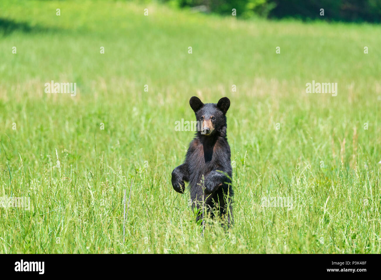Horizontal shot of a standing Black Bear in a field looking at the Camera With Copy Space. - Stock Image