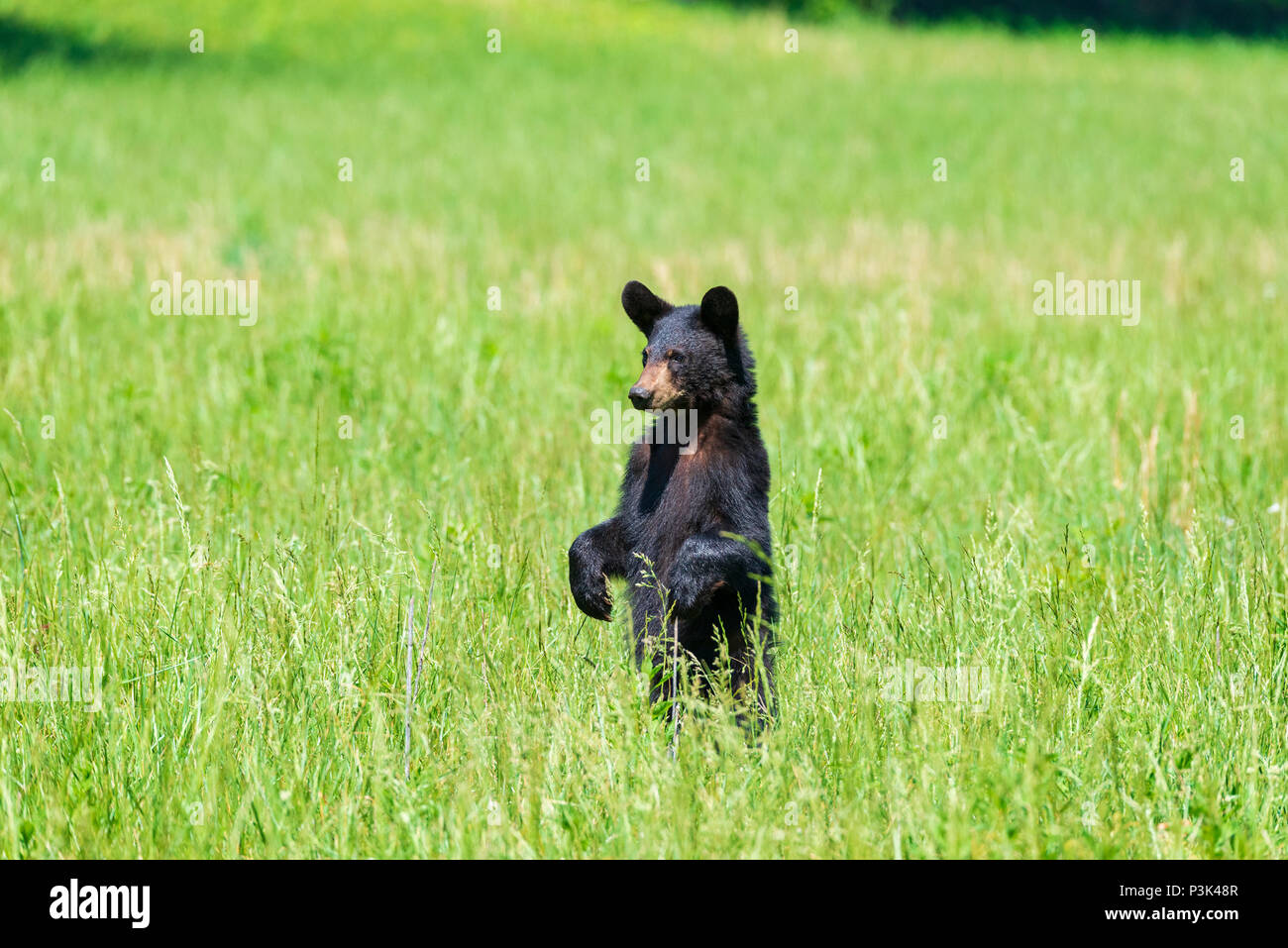 Horizontal shot of a standing Black Bear in a green field looking camera left with copy space Stock Photo