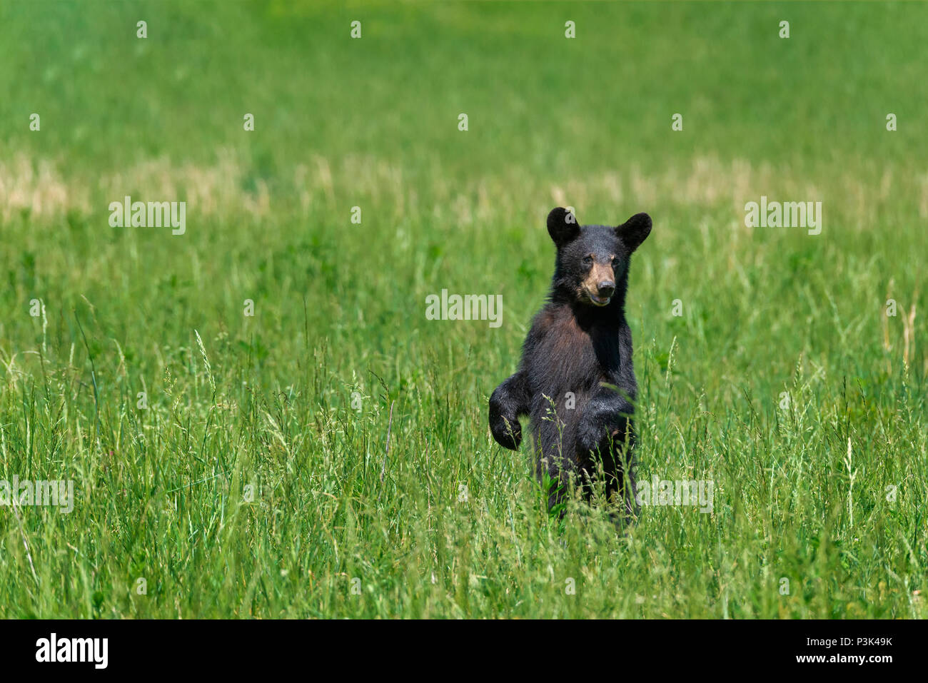 A north american black bear standing in a green field with copy space. - Stock Image