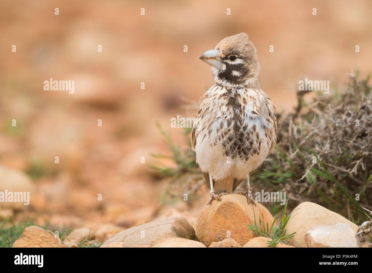 Thick-billed Lark (Ramphocoris clotbey), adult standing on the ground - Stock Image