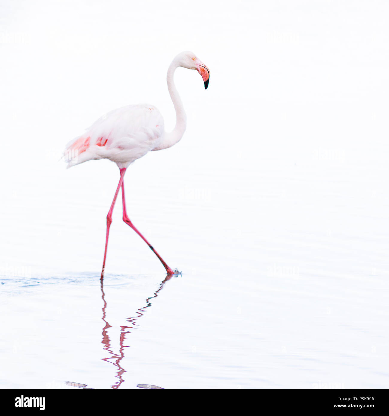 Elegant wading flamingo bird, high key, with its long leggs reflecting in water - Stock Image