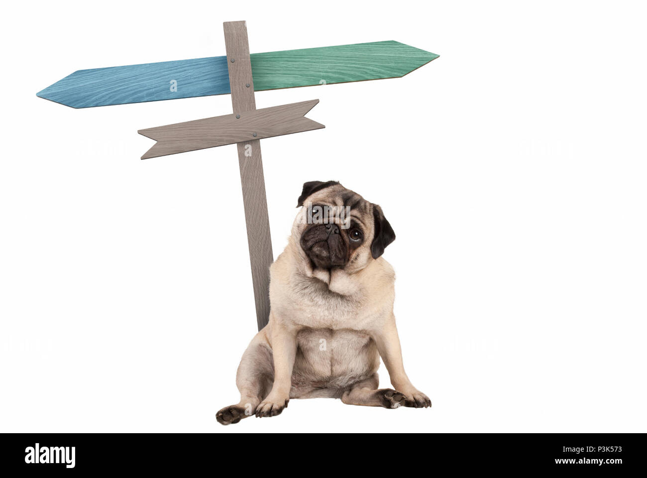 funny cute pug puppy dog sitting down next to blank signpost; with signs pointing left and right, isolated on white background Stock Photo