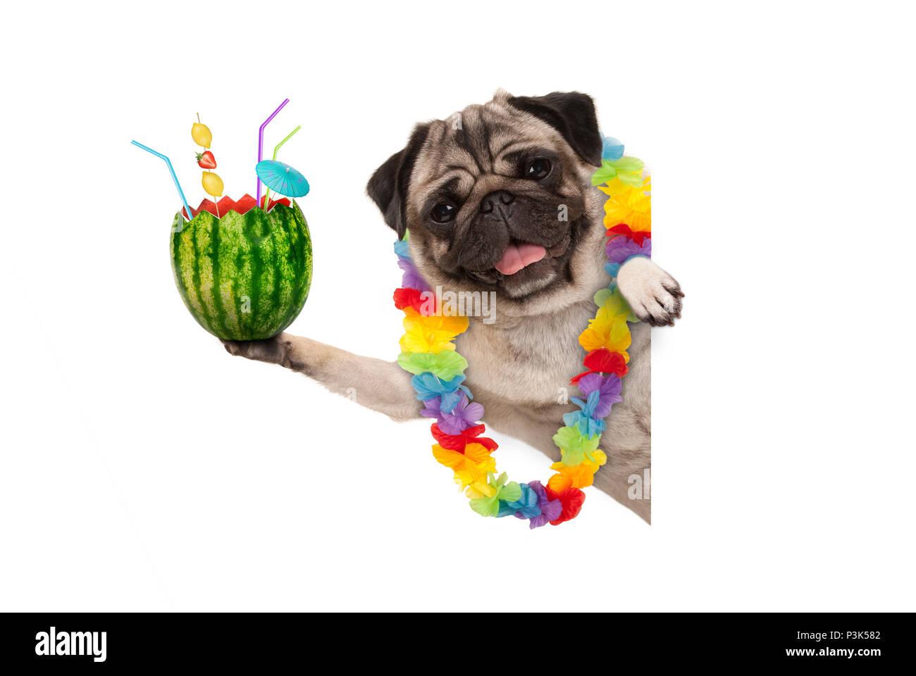 Frolic summer pug dog with hawaiian flower garland holding frolic summer pug dog with hawaiian flower garland holding watermelon cocktail with umbrella and straws isolated on white background izmirmasajfo