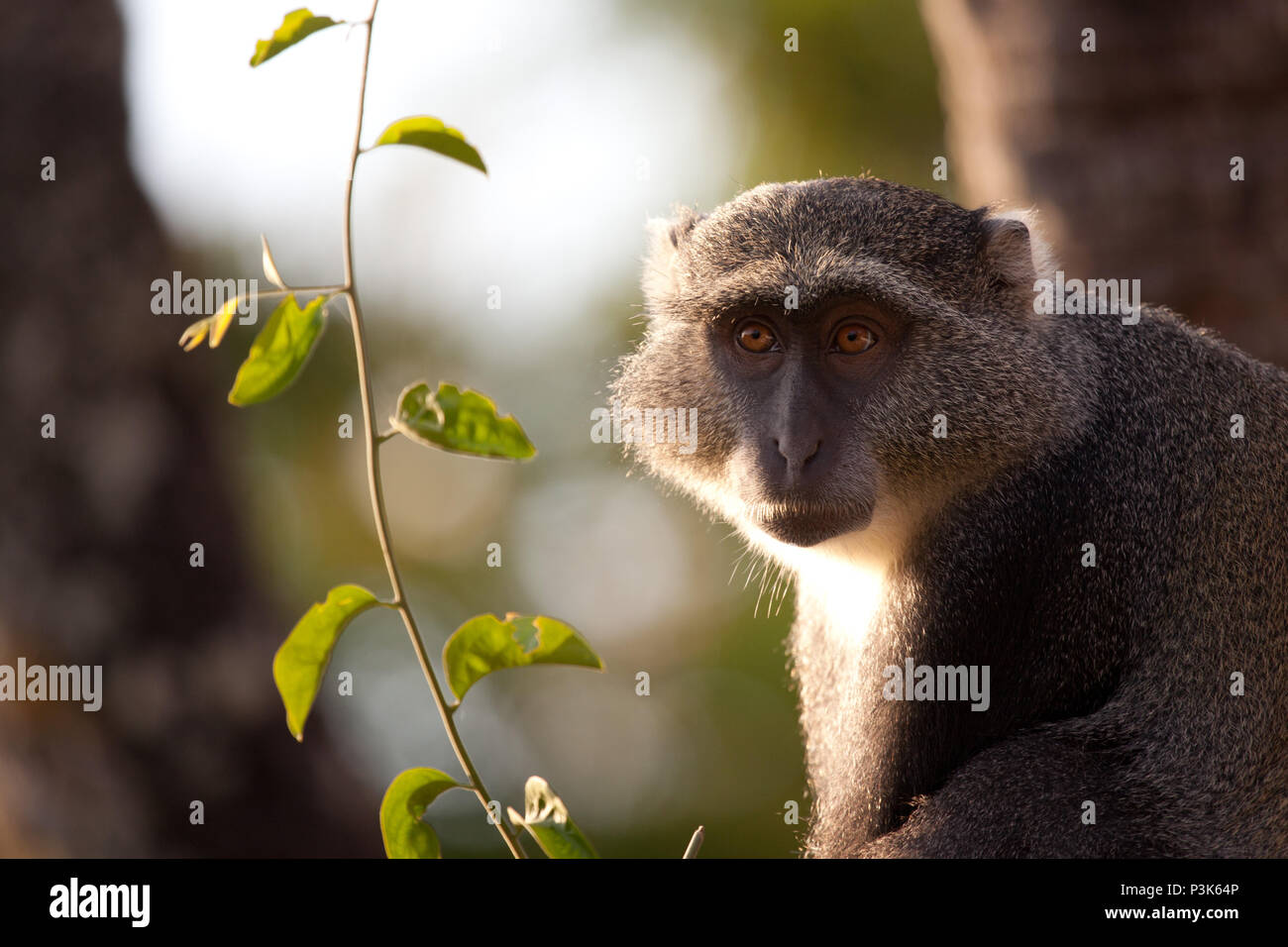 Sykes' monkey in the forest at dawn, Tanzania. - Stock Image