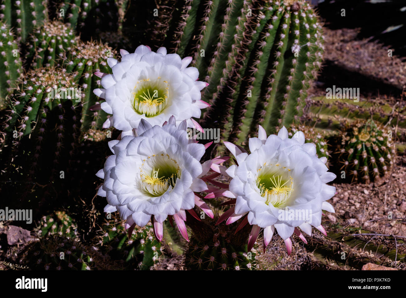 Giant white flowers blooming on argentine giant cactus echinopsis giant white flowers blooming on argentine giant cactus echinopsis candicans from south america other desert succulent plants are in the background mightylinksfo