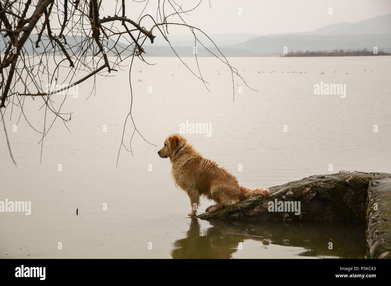 The dog is sitting on the rock next to the sea .It is looking the sea. - Stock Image
