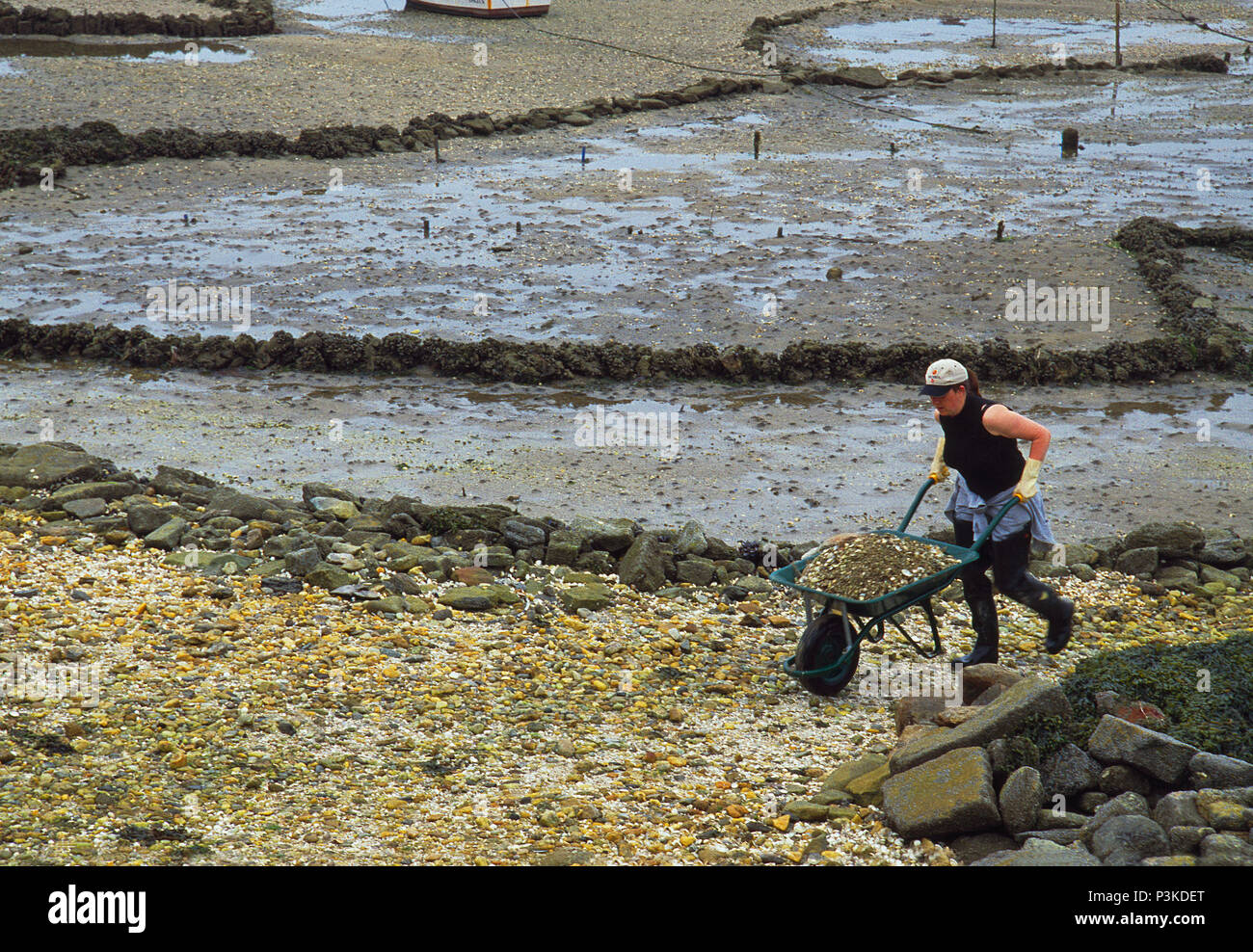 Shellfish catcher working in the estuary during low tide. Carril, Pontevedra province, Galicia, Spain. - Stock Image