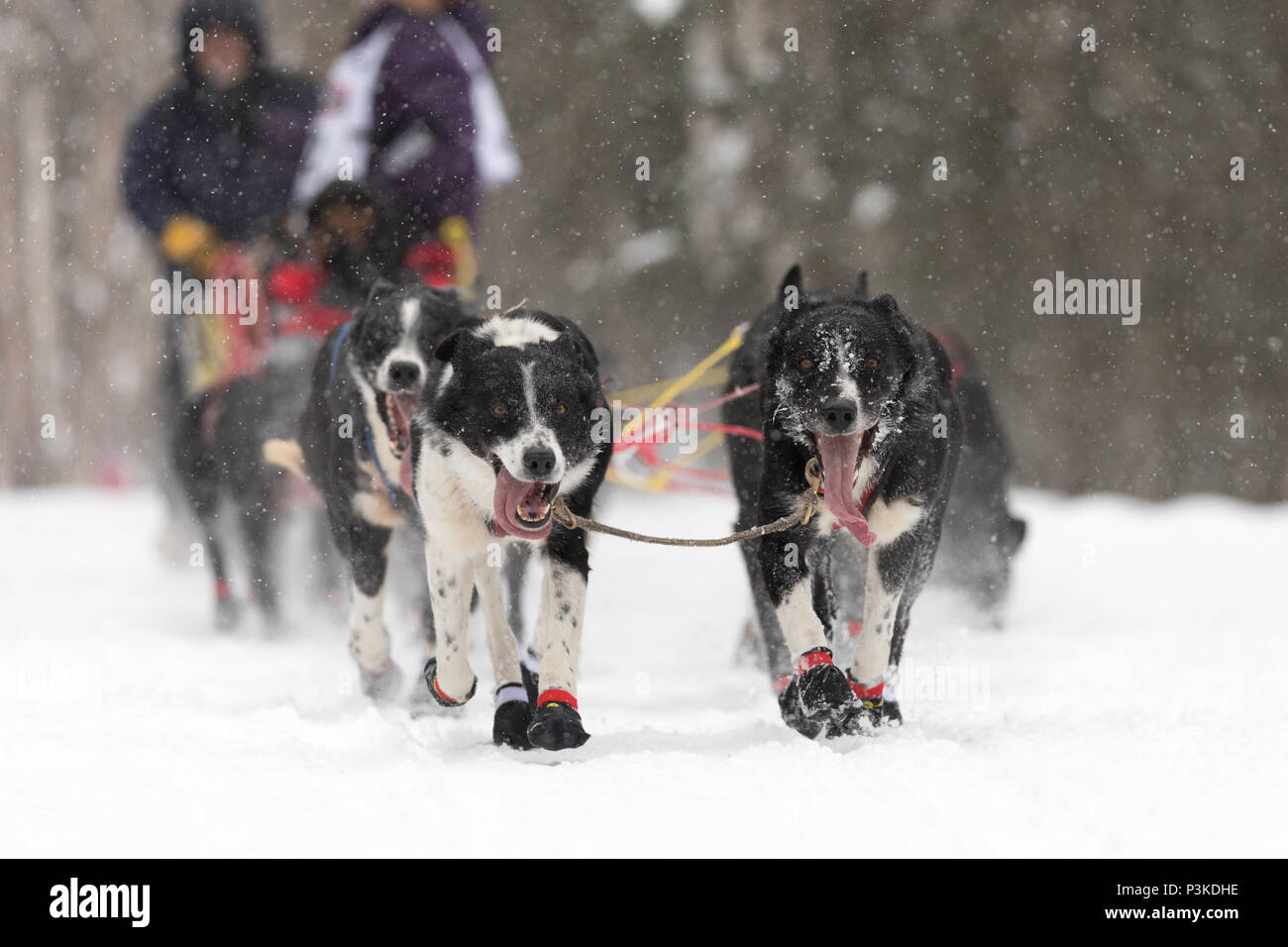 Photos taken during the Iditarod Trail Sled Dog Race nearby Anchorage Alaska - Stock Image