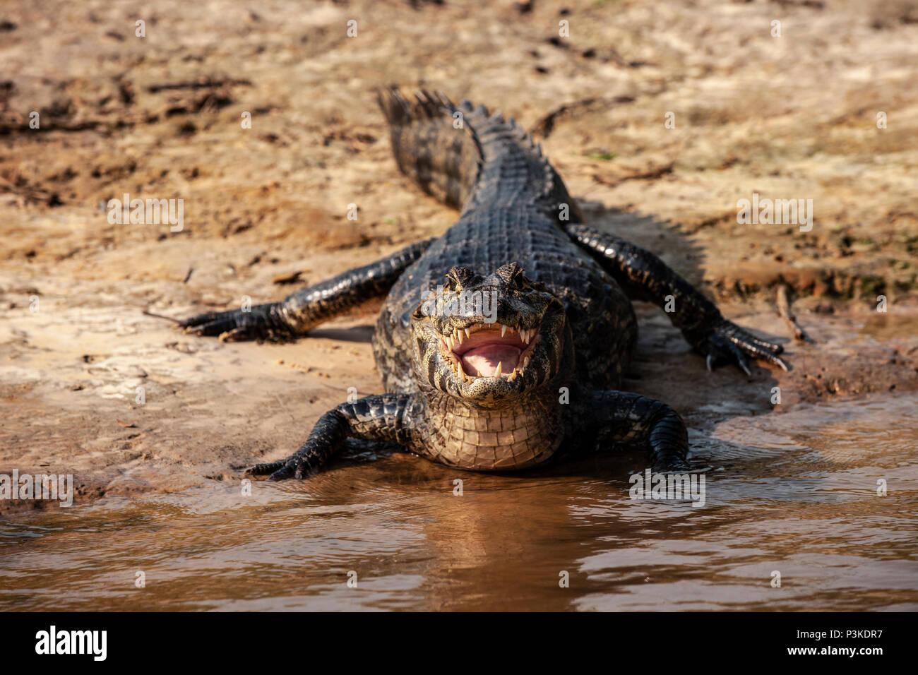 caiman at the water's edge, River Sao Lourenco, Pantanal, Brazil - Stock Image