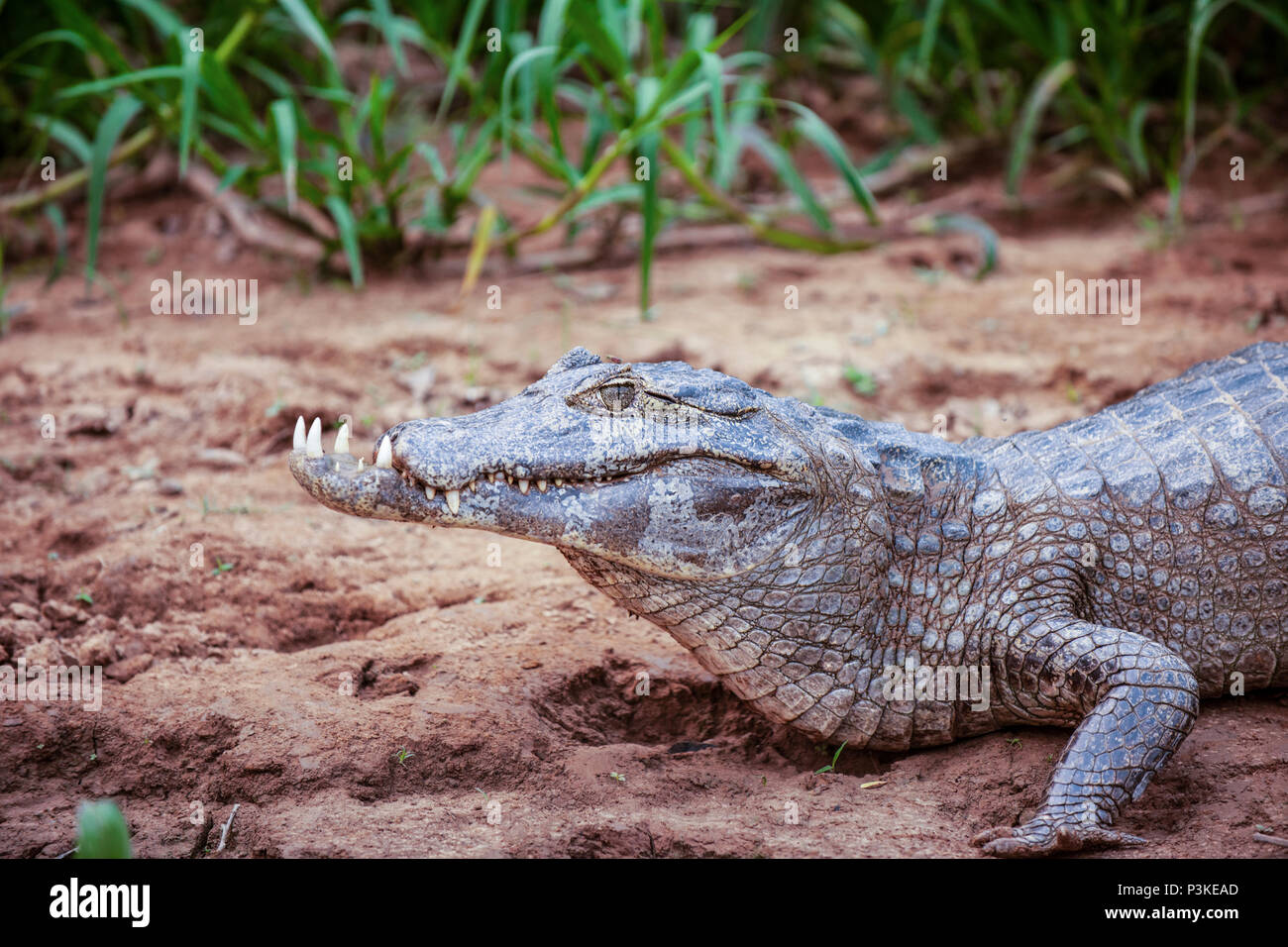 Caiman with deformed short upper jaw, at the edge of the river Sao Lourenco, Pantanal, Brazil - Stock Image
