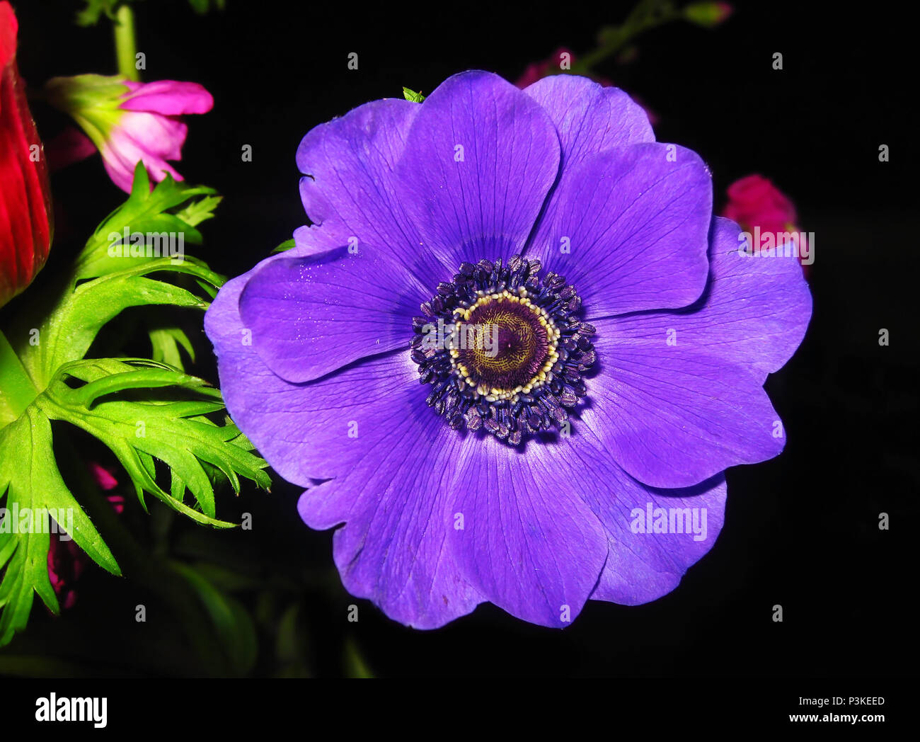 Blooming Purple Anemone Flower With Big Purple Petals Spring