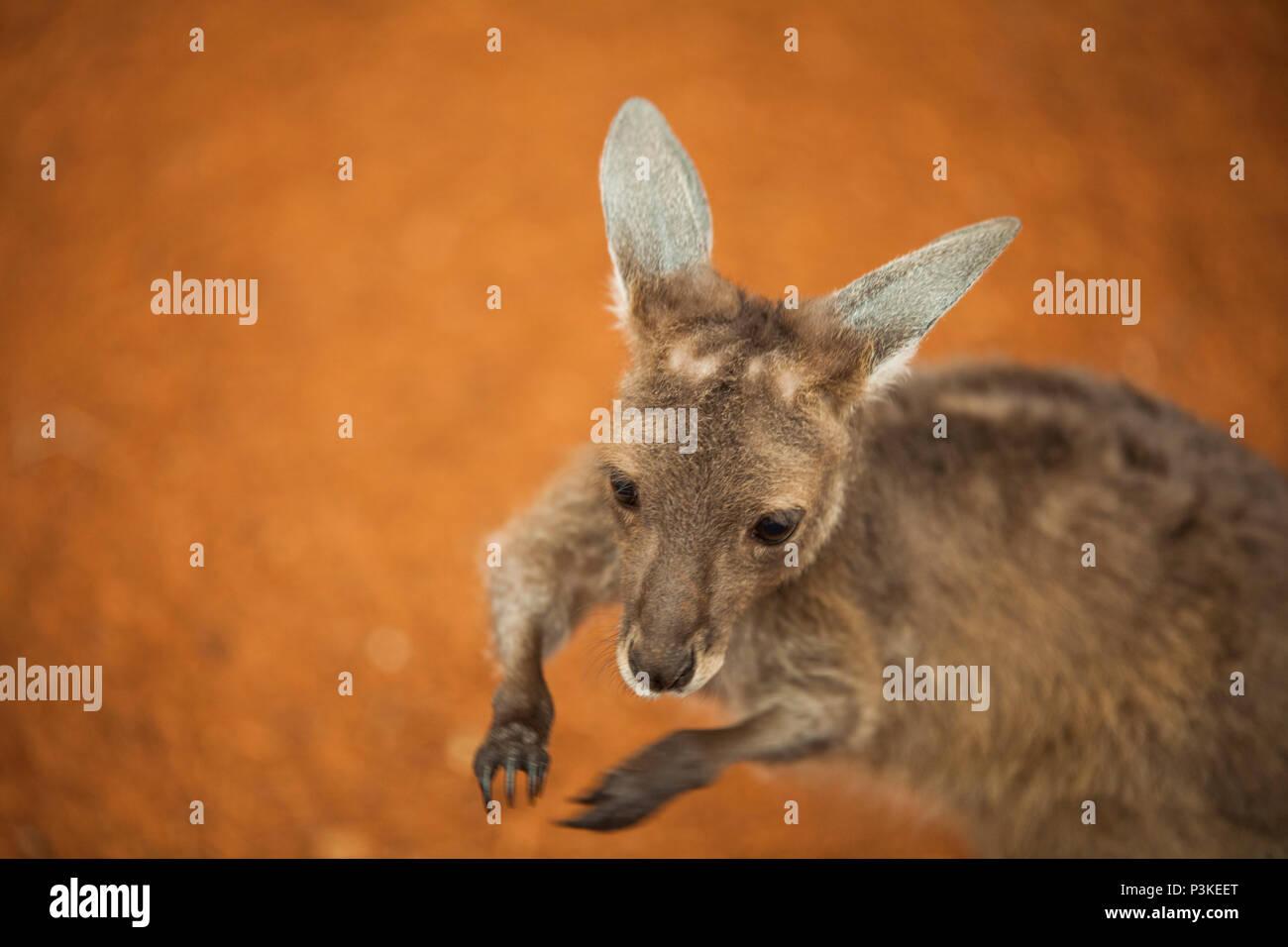 Baby kangaroo (joey), Perth Zoo, Western Australia - Stock Image