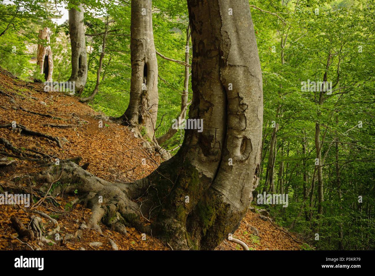 Magical crooked trees in the forest. Albania, Europe - Stock Image