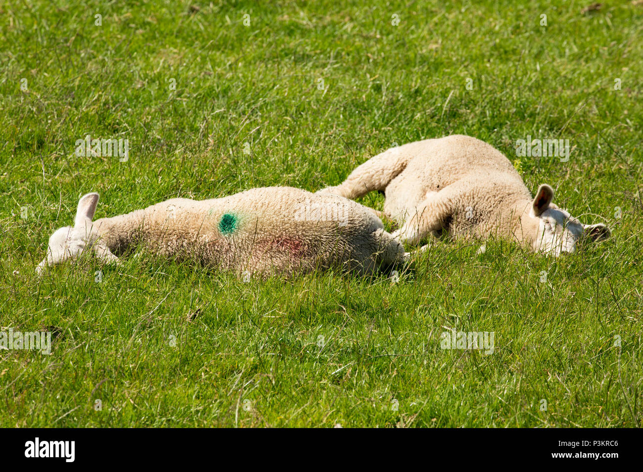 Lambs resting on a hot day on pasture close to salt marshes on the edge of Morecambe Bay near Silverdale Lancashire England UK - Stock Image