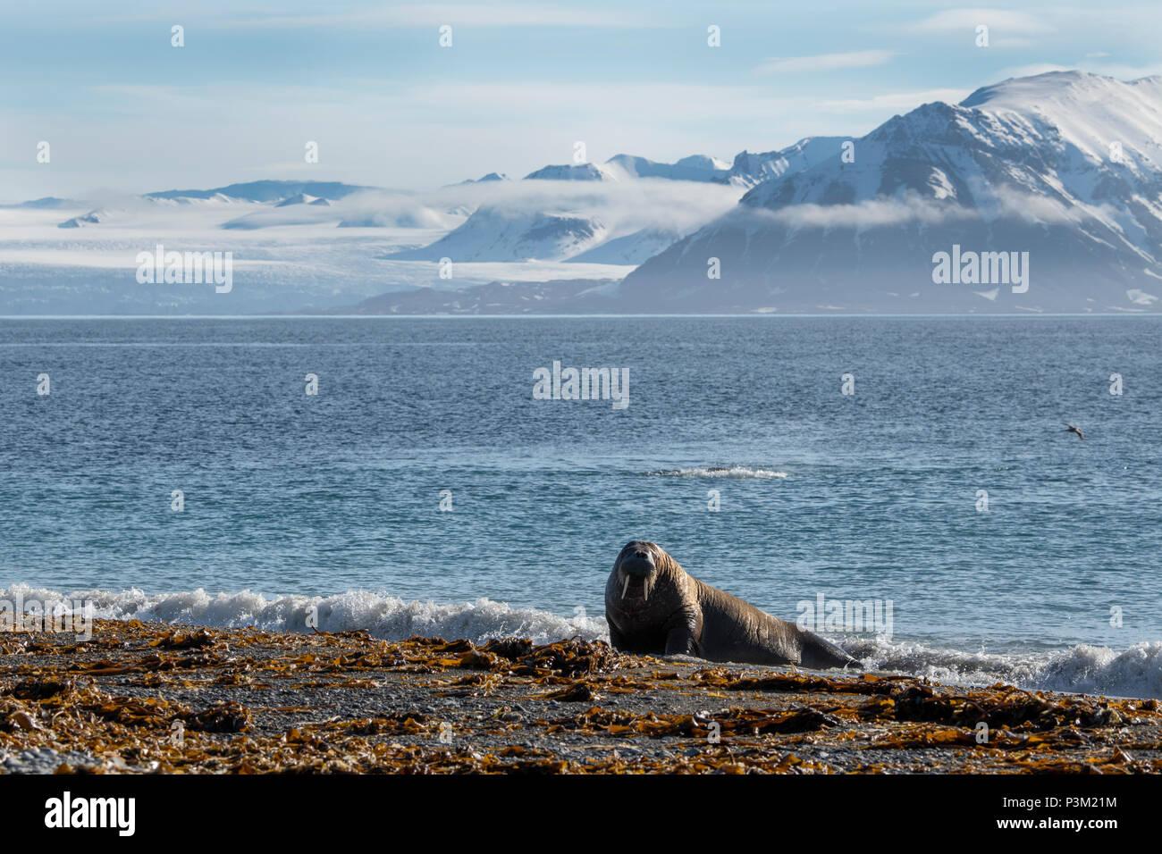 Norway, Svalbard, Spitsbergen, Isfjord, Poolepynten. Atlantic walrus (Odobenus rosmarus rosmarus) coastal haul out. - Stock Image