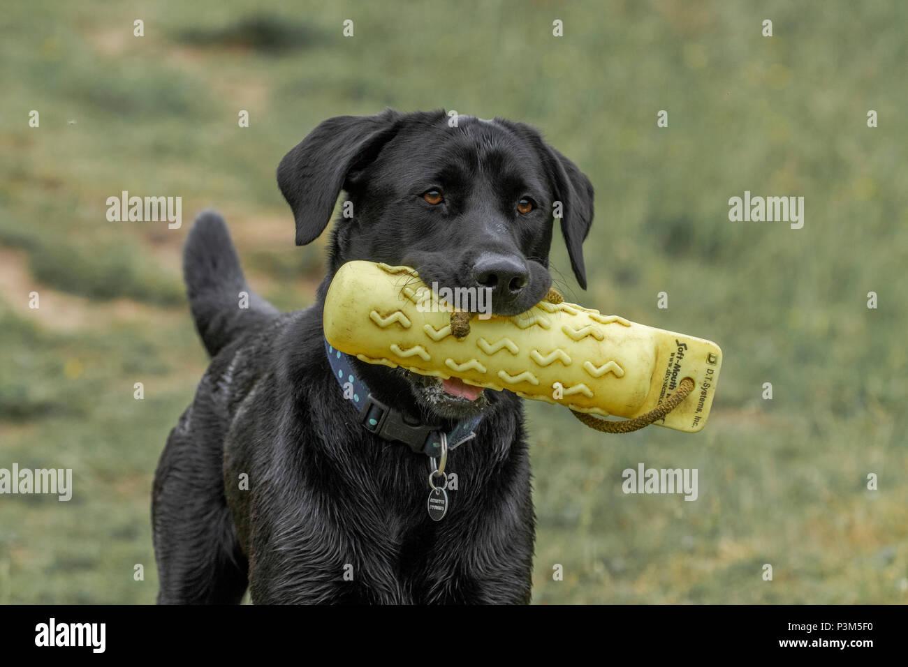 Black labrador holding a gun dog dummy in his mouth. Stock Photo