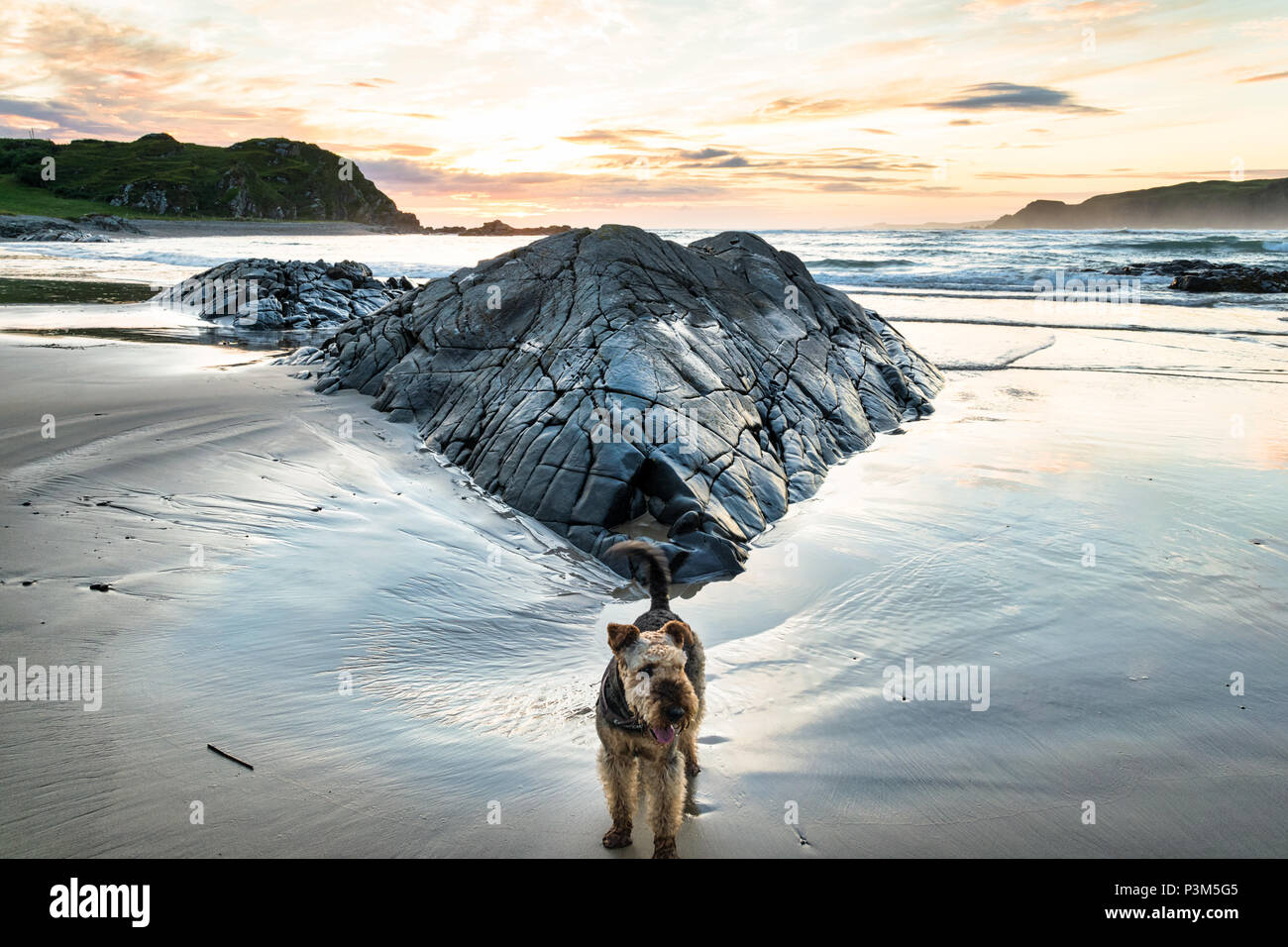 Picture of an Airedale Terrier on a beach at sunset - Stock Image