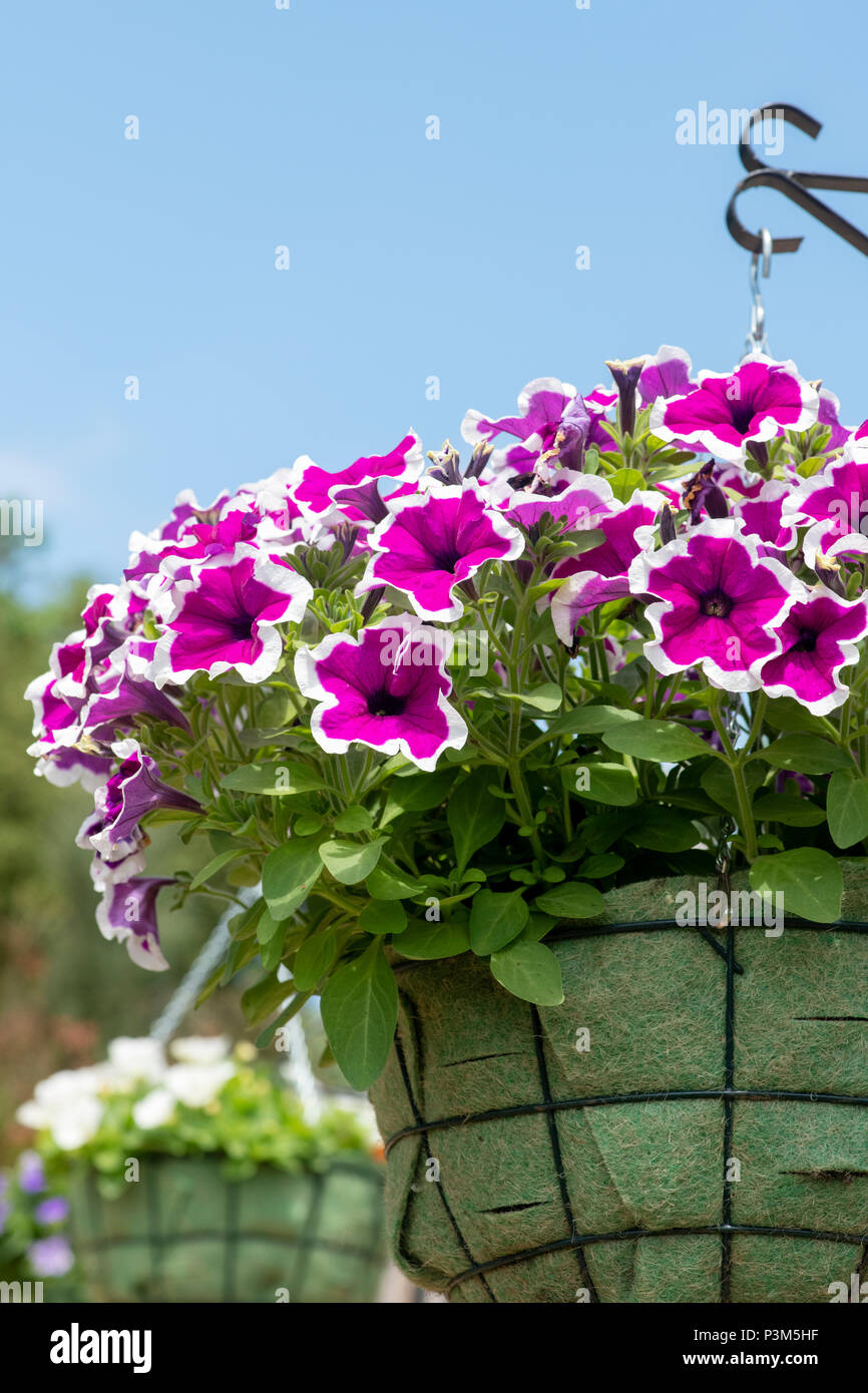 Petunia Cascadia Rim Magenta flowers in a hanging basket. UK - Stock Image