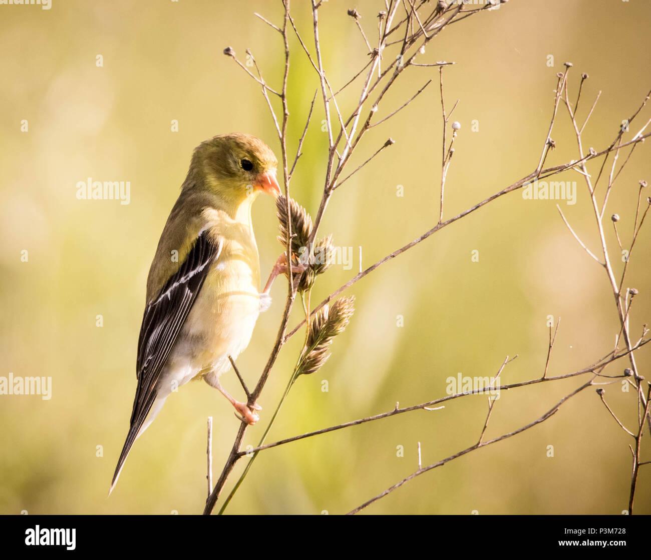 Golden Finch eating breakfast - Stock Image