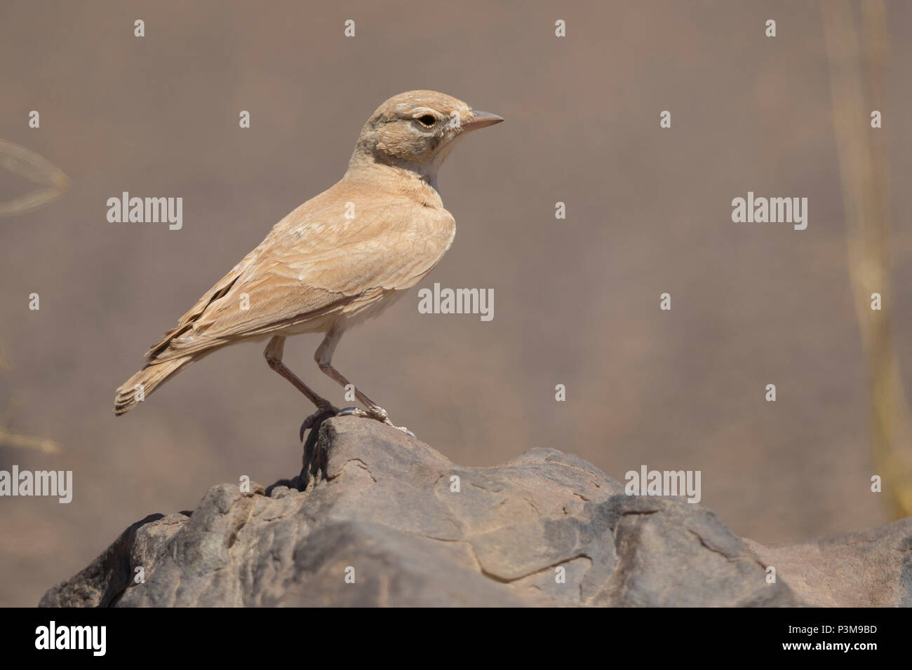 Lbar-tailed Lark (Ammomanes cinctura arenicolor), adult standing on a stone - Stock Image