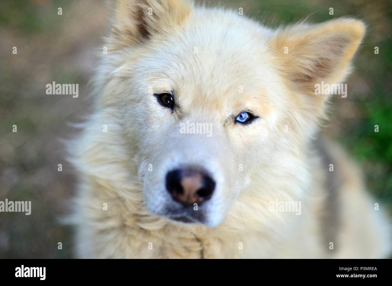 Portrait of the White Siberian Samoyed husky dog with