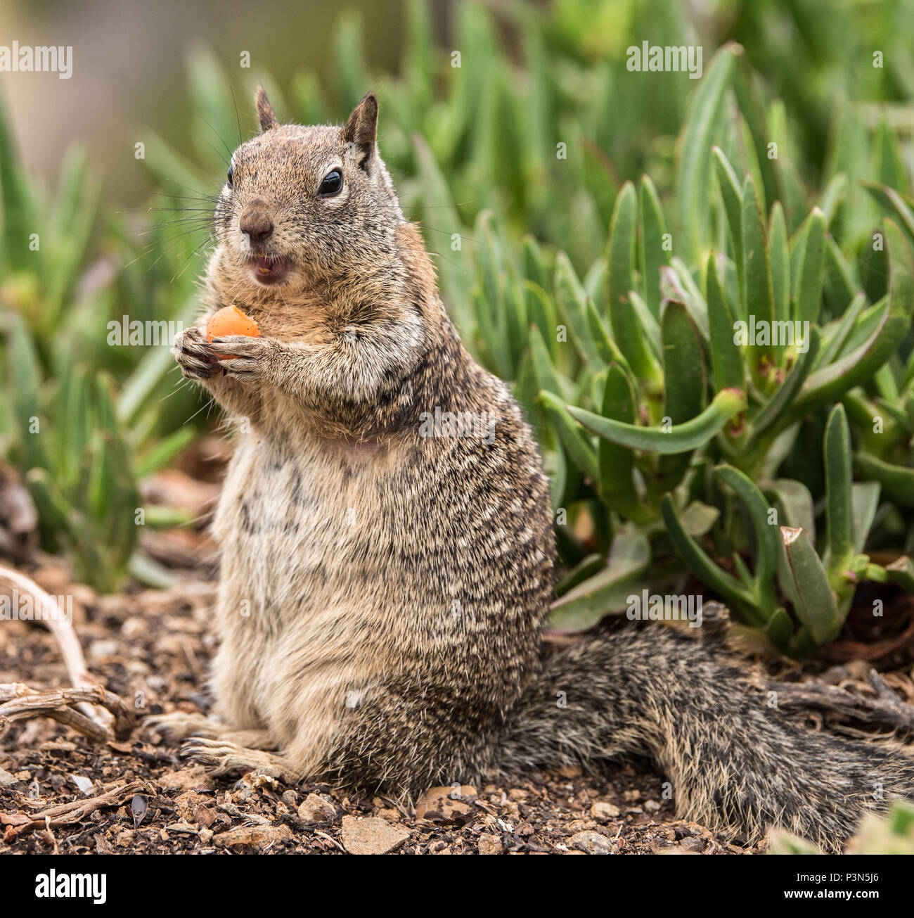 Squirrel sitting up eating a carrot with a green background Stock Photo