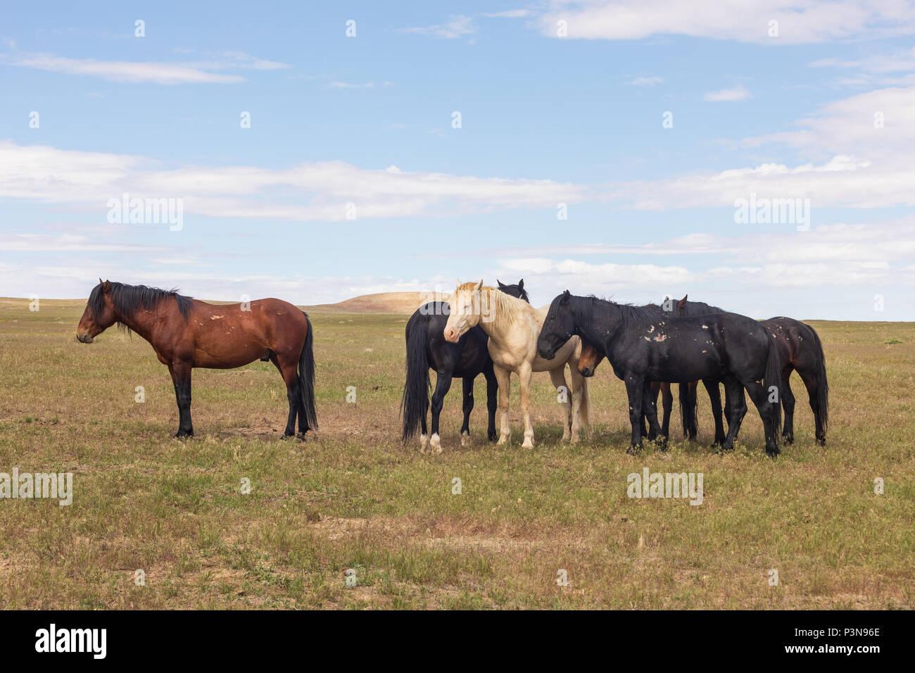 wild Horses in the Utah Desert - Stock Image