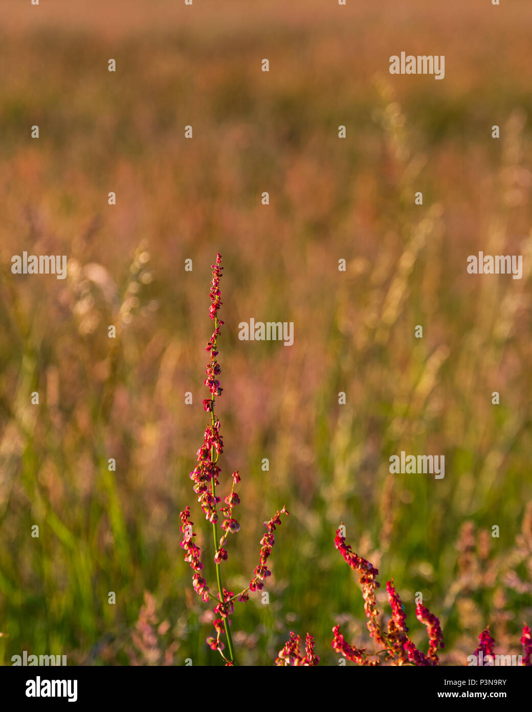 Small red flower stalks grow next to a meadow in the Chilterns - Stock Image