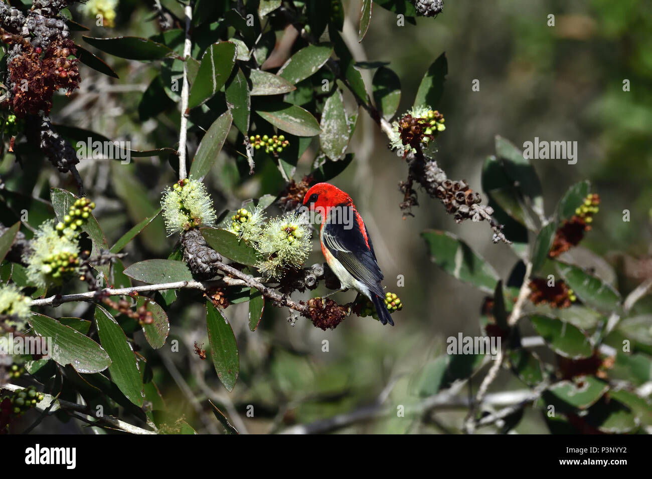 An Australian, Queensland Male Scarlet Honeyeater ( Myzomela sanguinolenta ) feeding on a Bottlebrush tree - Stock Image