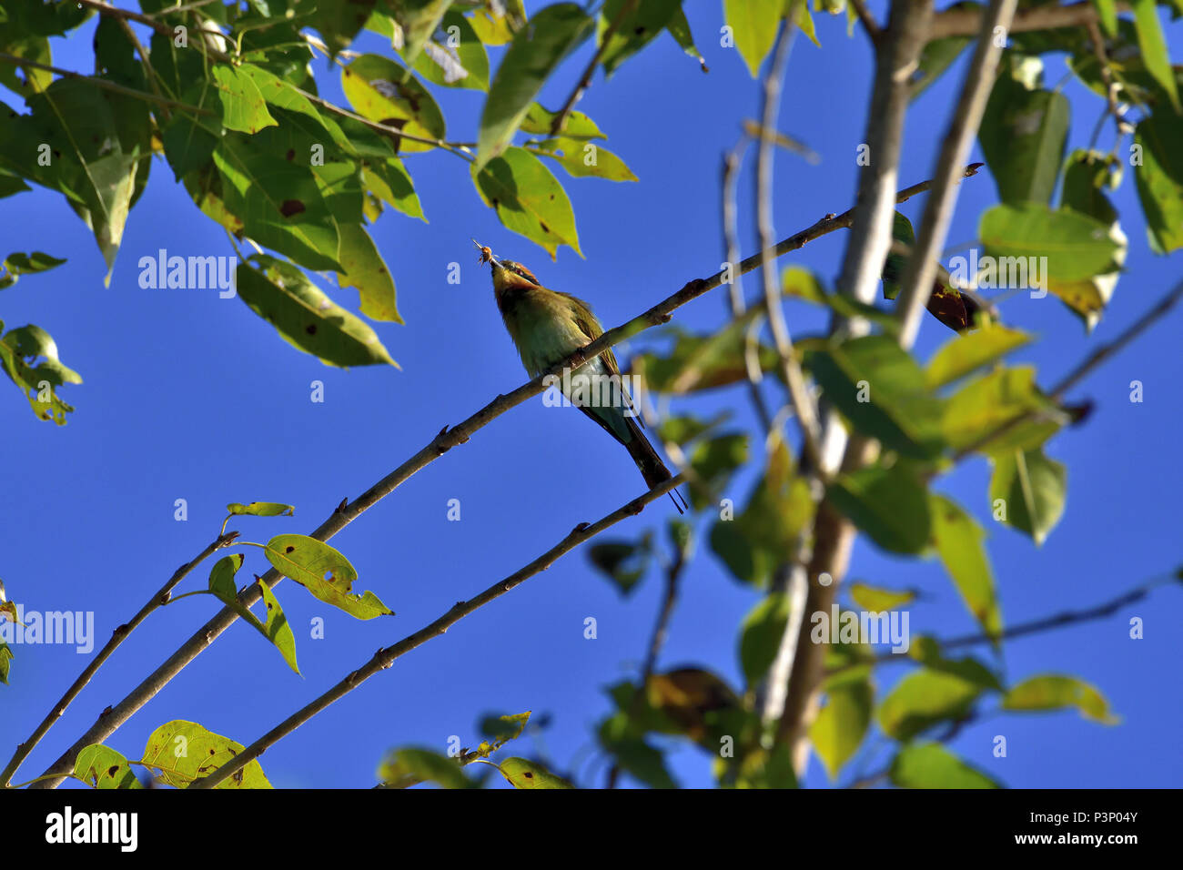 An Australian, Queensland Female Rainbow Bee-eater ( Merops ornatus ) perched on a tree branch about to eat a Bee - Stock Image
