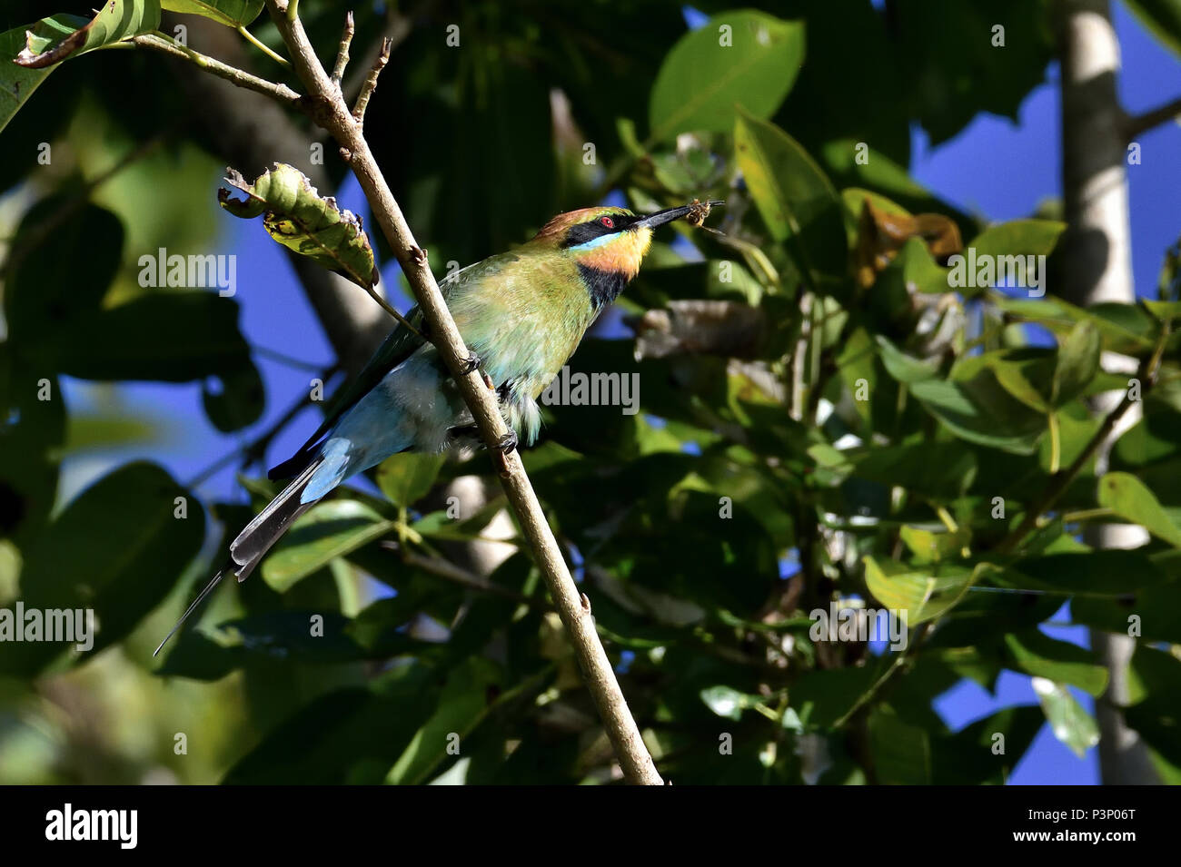 An Australian, Queensland Male Rainbow Bee-eater ( Merops ornatus ) perched on a tree branch about to eat a Bee - Stock Image