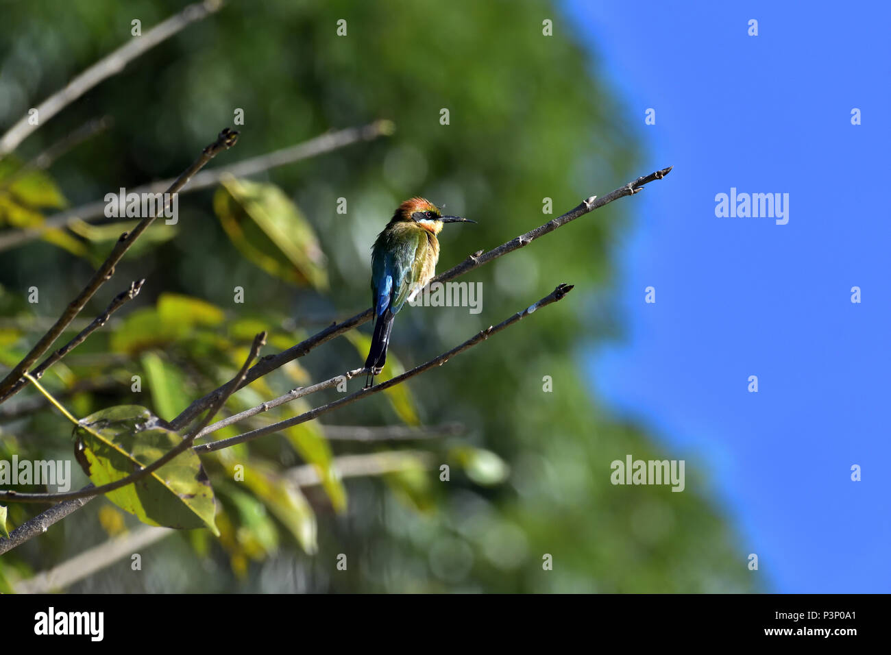 An Australian, Queensland Female Rainbow Bee-eater ( Merops ornatus ) perched on a tree branch Stock Photo