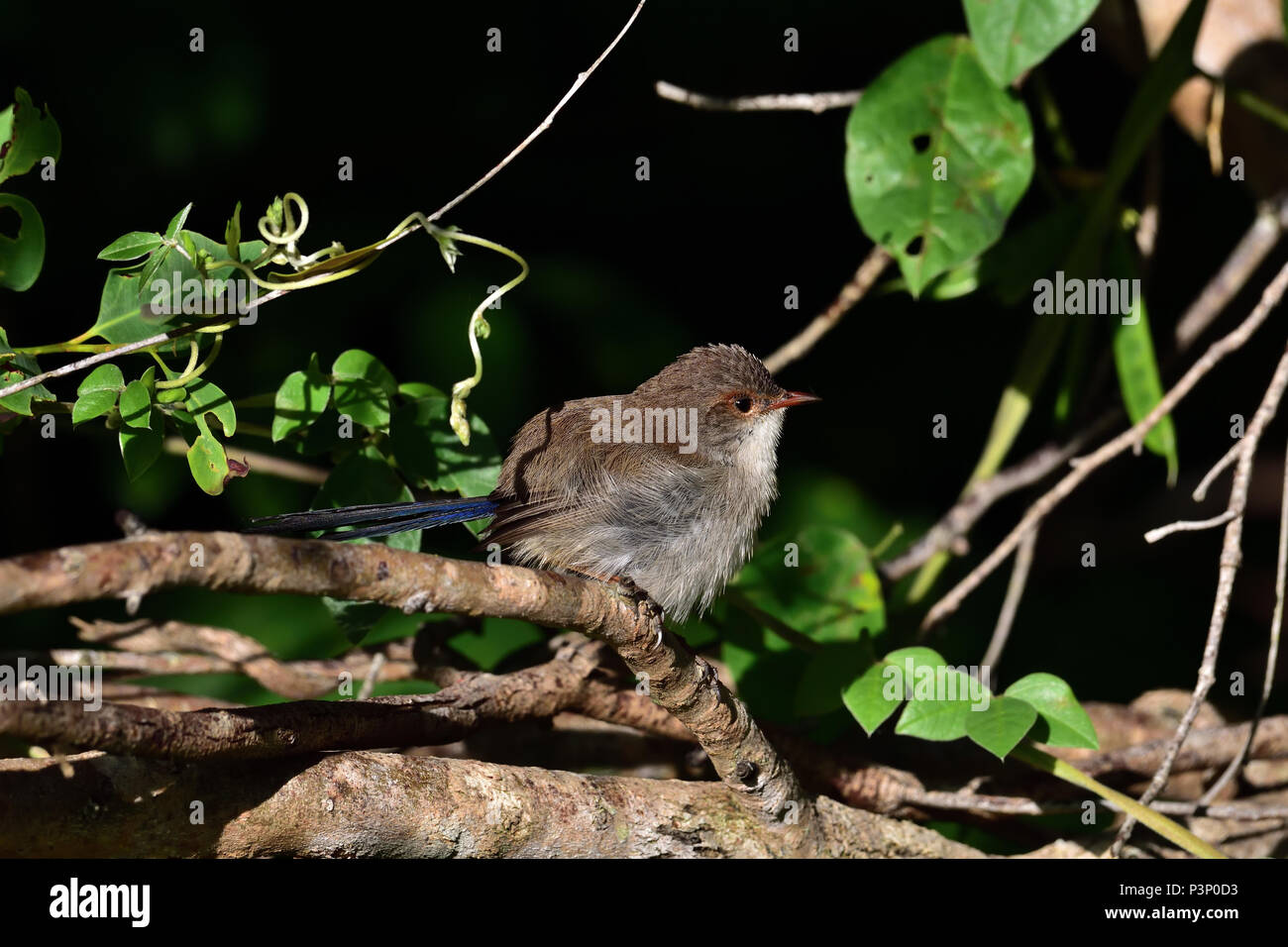 An Australian, Queensland Juvenile Male Superb Fairy-wren ( Malurus cyaneus ) perched on a tree branch looking for food - Stock Image