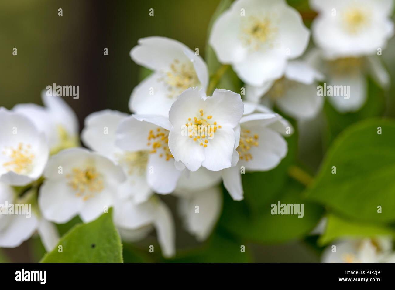 Beautiful blossoming branch of jasmine in garden - Stock Image