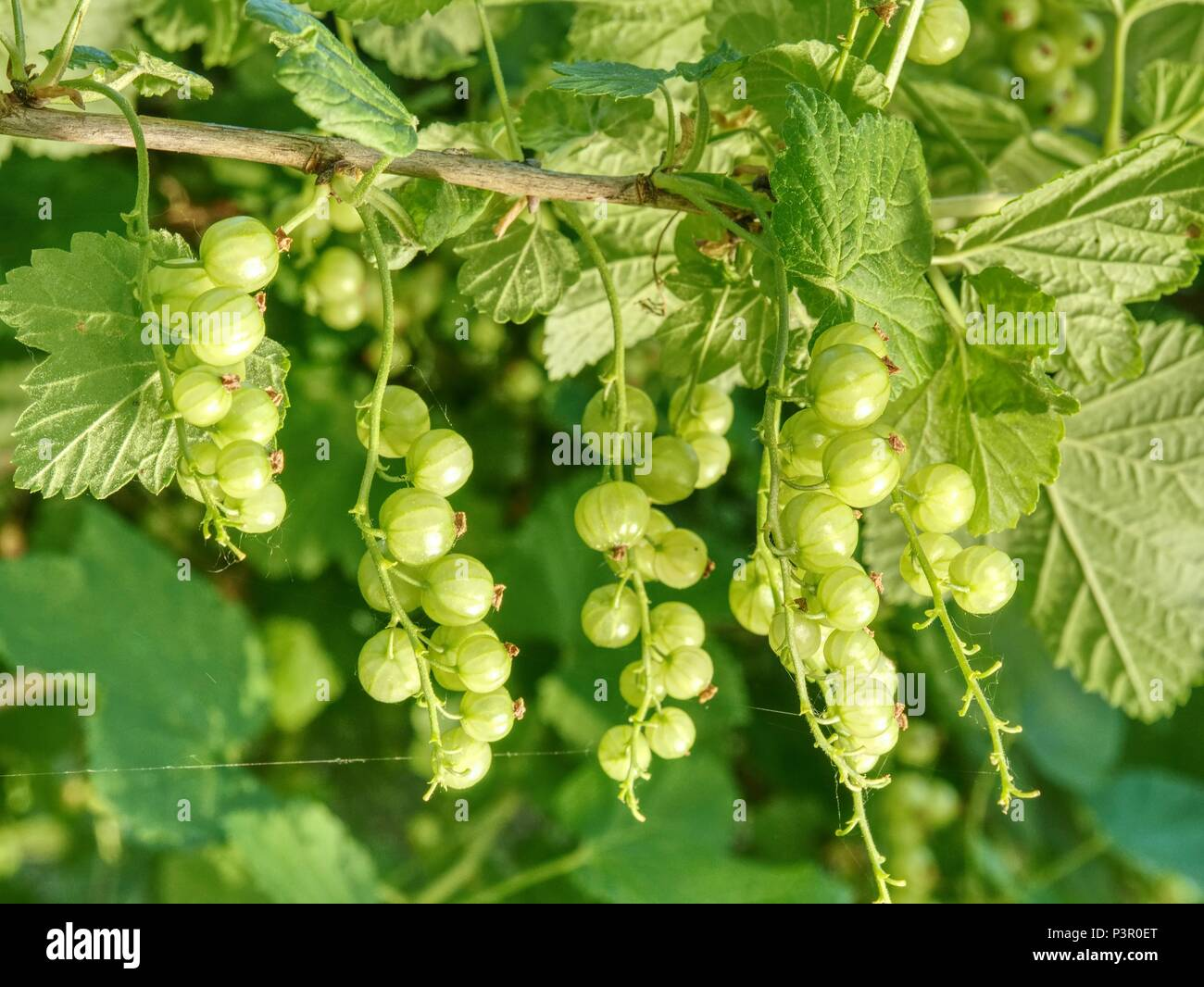 Sour green unrippable berries of red currant. Bush of red currant with green leaves in the garden Stock Photo