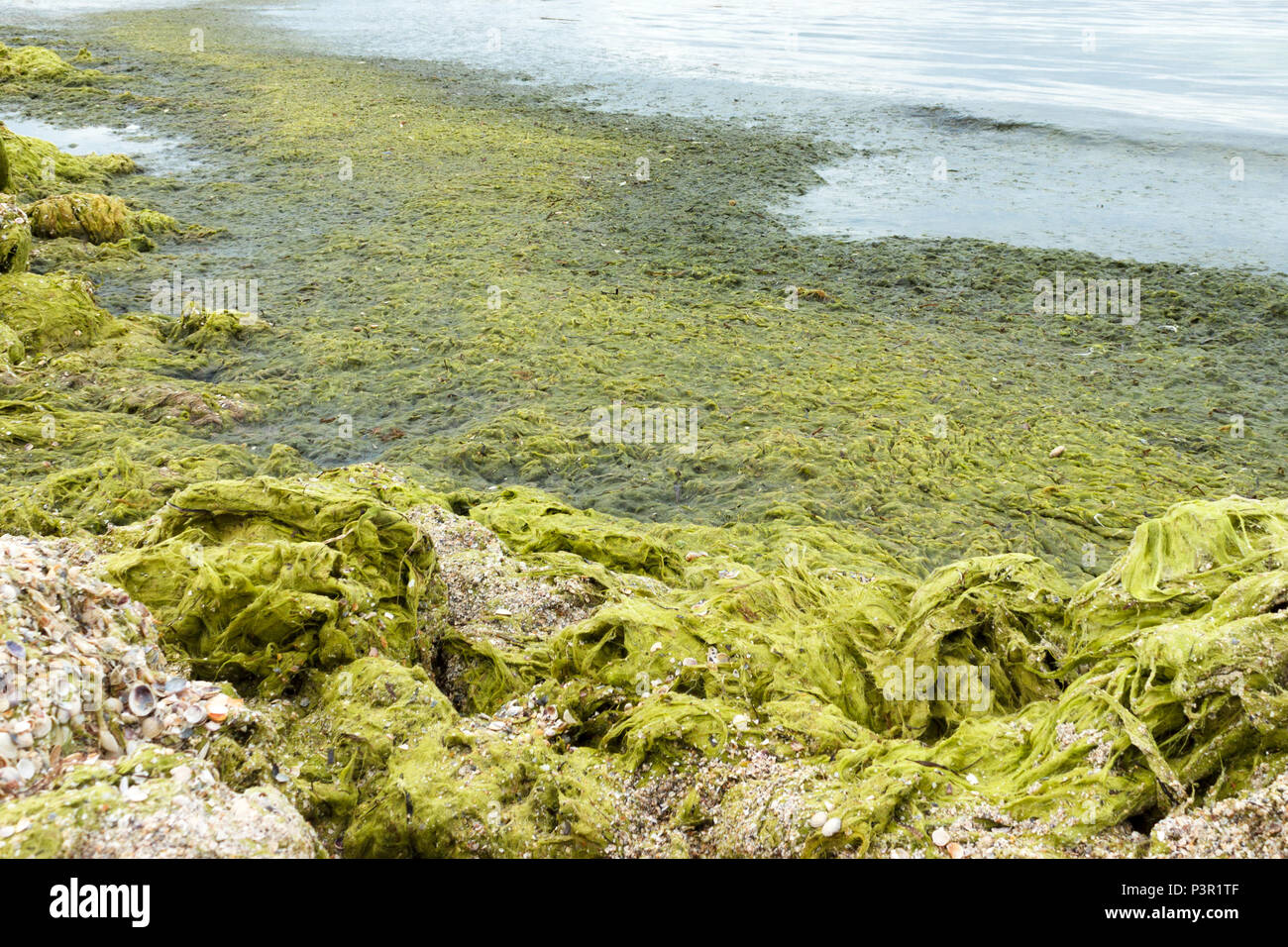 Green rocks. Beach with green seaweeds rocks by the beach. ecology and natural disasters concept. - Stock Image
