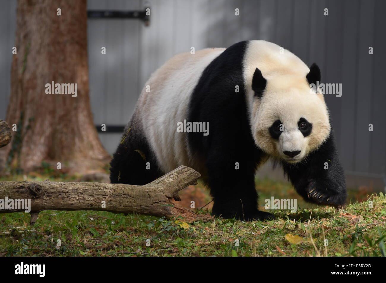 Panda enjoying the Autumn Sunshine - Stock Image