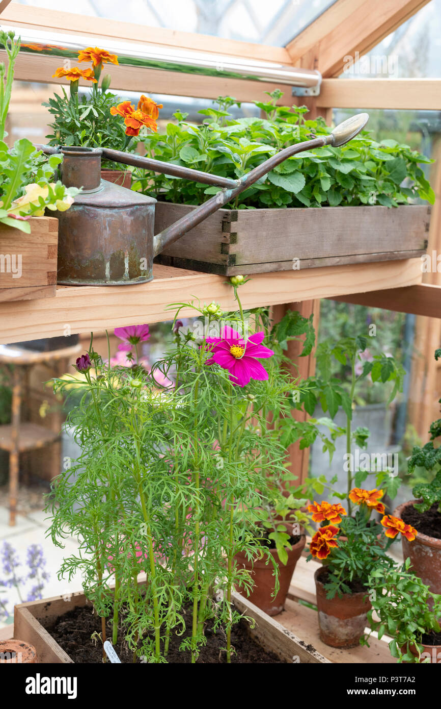 Watering can and flowers in a greenhouse at a flower show. UK - Stock Image